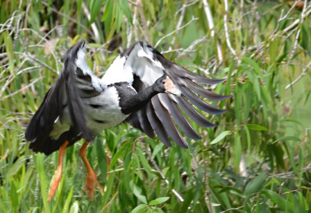 The3 male flies up to land on the nest. Photo: David Clode.