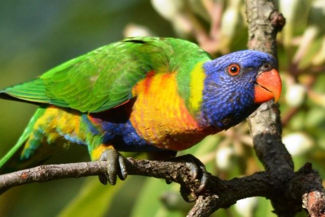 Rainbow Lorikeet. Photo: David Clode.