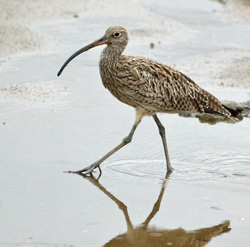 """""""Strutting along the """"nade"""". Eastern Curlew. Cairns Esplanade mud flats. Photo: David Clode."""