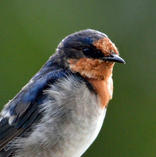 Welcome Swallow. Photo: David Clode.
