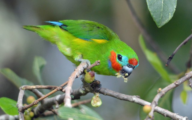 A male Double-eyed Fig Parrot. Cairns Cemetery. Photo: David Clode.
