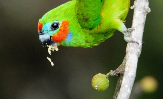Close up of a male Double-eyed Fig Parrot eating a fig. Cairns Cemetery. Photo: David Clode.