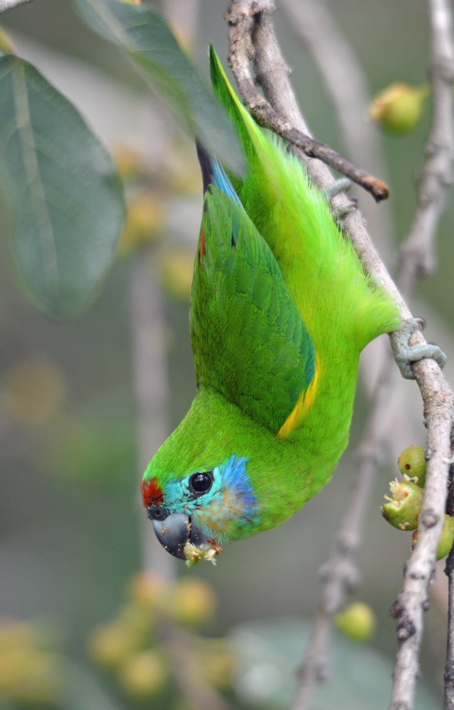 A female Double-eyed Fig Parrot. Photo: David Clode.