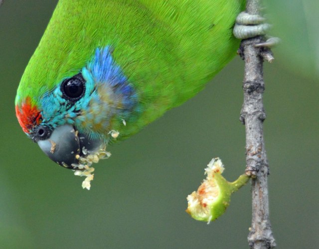 Female Double-eyed Fig Parrot. Photo: David Clode.