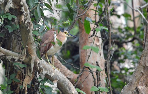 A Rufous Night Heron skulking in amongst the paperbark trees.
