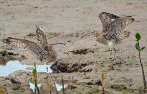 A dispute over territory? Eastern Curlews, Cairns mud flats. Photo: David Clode.