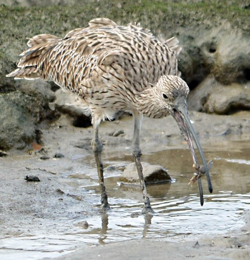An Eastern Curlew catches a crab. Cairns Esplanade Mud Flats. Photo: David Clode.