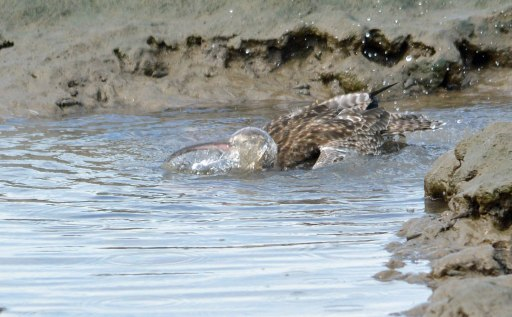 Eastern Curlew bathing. Photo: David Clode.