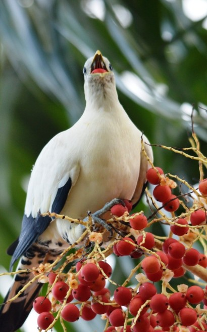 Torresian Imperial Dove.