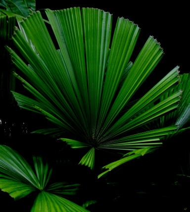 Licuala Palm Leaves. Cairns Botanic Gardens. Photo: David Clode.