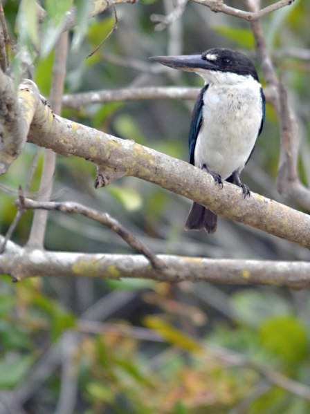 A Mangove Kingfisher? (or Collared Kingfisher). or a Forest Kingfisher?. Saltwater Creek. Photo: David Clode.