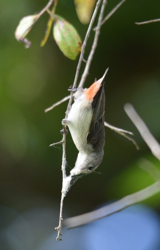 A female mistletoe bird collects spider web for her nest.. Cairns Cemetery. Photo: David Clode.