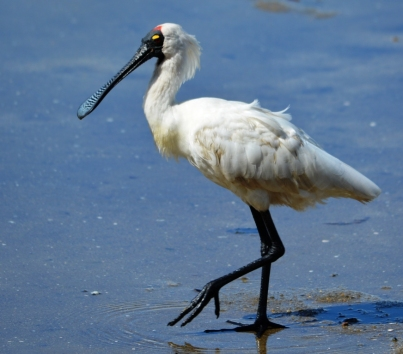 A Royal Spoonbill struts along the Esplanade, Cairns. Photo: David Clode.