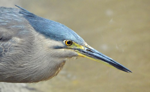 Striated Heron or Mangrove Heron. Photo: David Clode.
