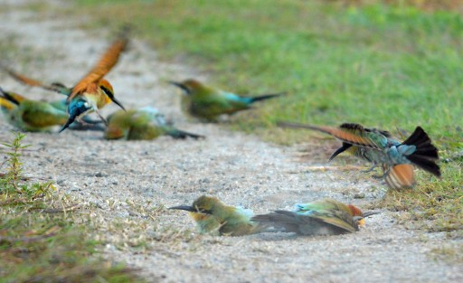 Rainbow Bee-eaters enjoying a dust bath. Photo: David Clode.