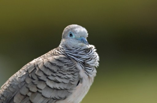 Peaceful Dove. Photo: David Clode.