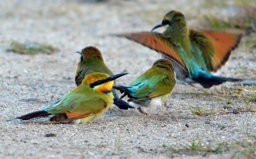 Dust bath, Rainbow Bee-eaters. David Clode.