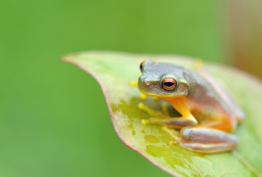 Dainty Treefrog Litoria gracilenta. Photo: David Clode.