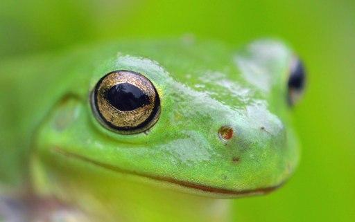 Green Treefrog Litoria caerulea. Photo: david Clode.