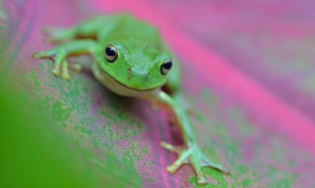 A Green Treefrog Litoria caerulea on a Caladium leaf. Photo: David Clode.