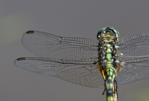 Dragonfly wings. Photo: David Clode.