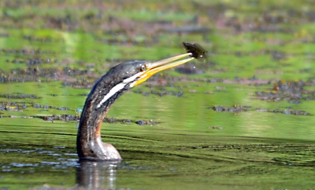 A Darter with a fish it has caught. Freshwater Lake, Centenary Lakes, Cairns. Photo: david Clode.