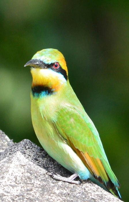 Rainboe Bee-eater