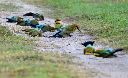 Bee-eaters enjoying a dust bath. Photo: David Clode.