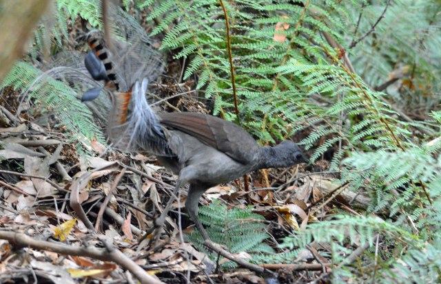 Superb Lyrebird. Sherbrooke Forest, Victoria Australia. Photo: David Clode.