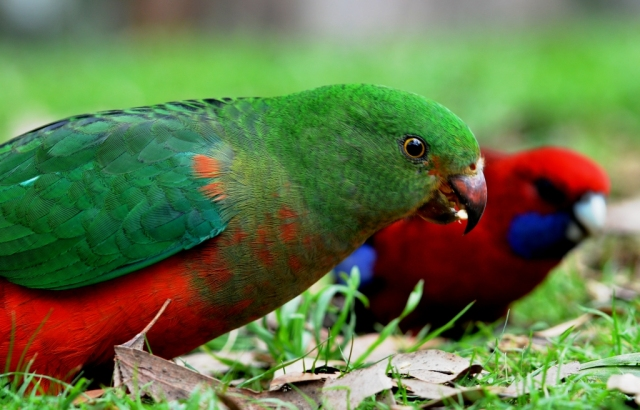 A female King Parrot, with a Crimson Rosella in the background. Kallista, Victoria, Australia. Photo: David Clode.