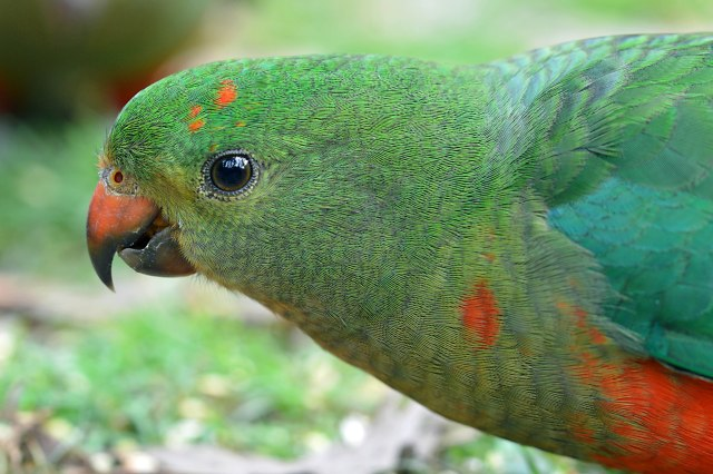 Female King Parrot. Photo: David Clode.