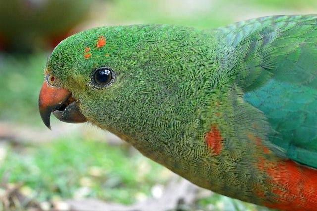 Female King Parrot. Photo: David Clode.