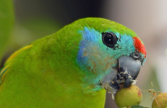 Female Doble-eyed Figparrot. Photo; David Clode.