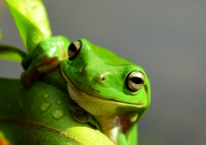 """Hang in there!"" Green Treefrog. Photo: David Clode."