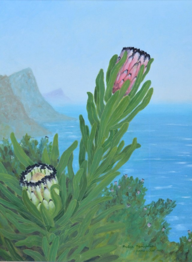 Protea neriifolia in two colour forms. Background, East coast of Cape Point Nature Reserve (Paulsberg, with Smitswinkel's bay behind the furthest mountain). Oil painting by David Clode.