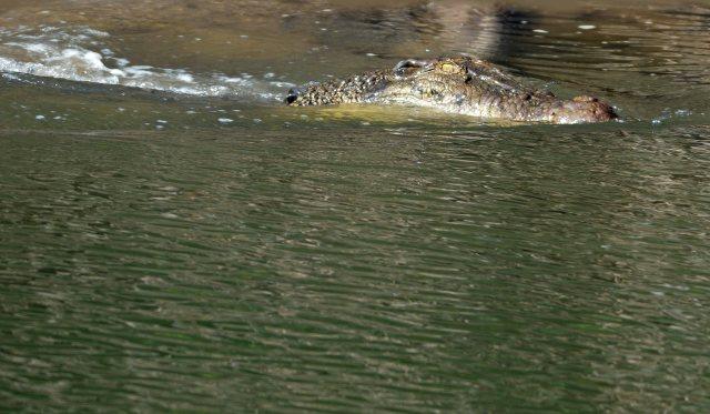 Estuarine crocodile photo.