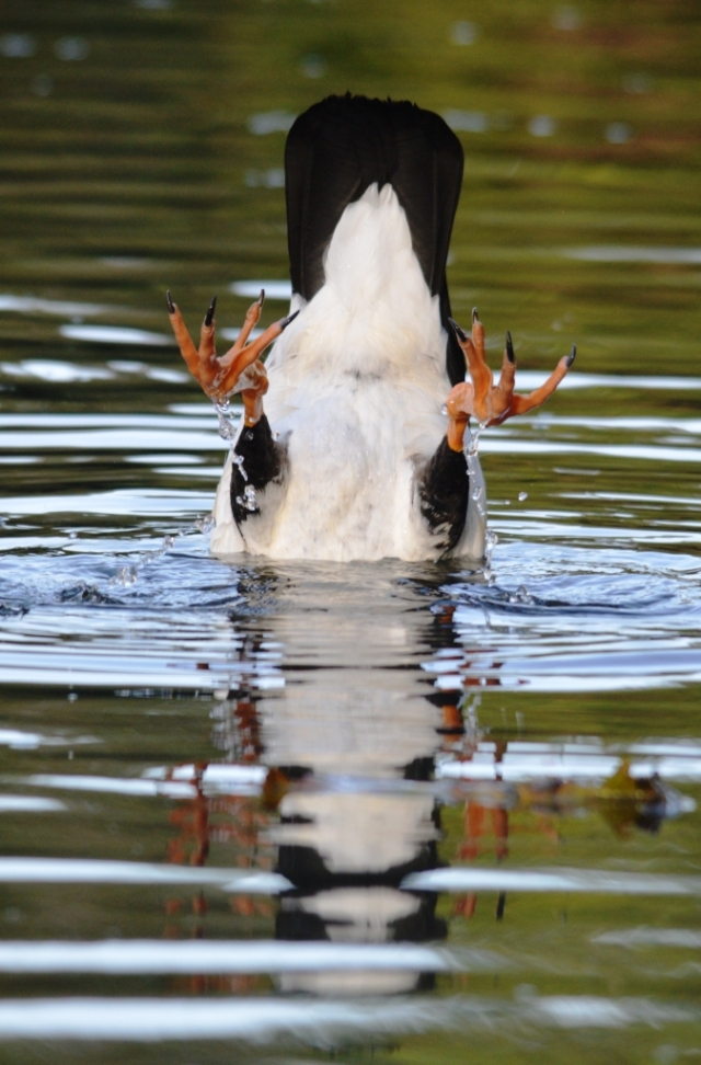 A magpie goose strikes and undignified pose while collecteing algae off the botomm of a lake. Phot: Freshwater lake, Cairns, David Clode