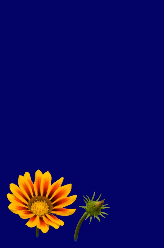 Free Gazania flower and developing flower bud poster background, By David Clode.