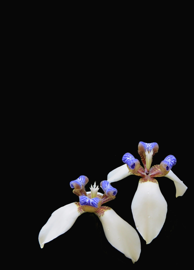 Brazilian walking Iris background. Photo: David Clode