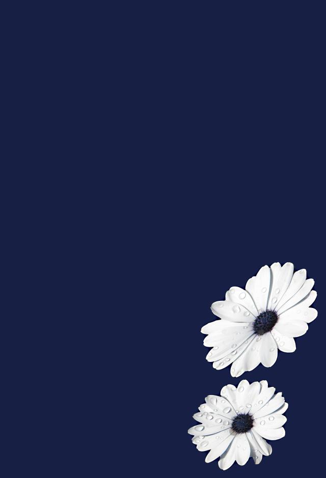 Osteospermum daisy background. Photo: David Clode