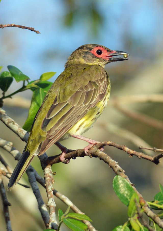 An immature male figbird eating fruit.
