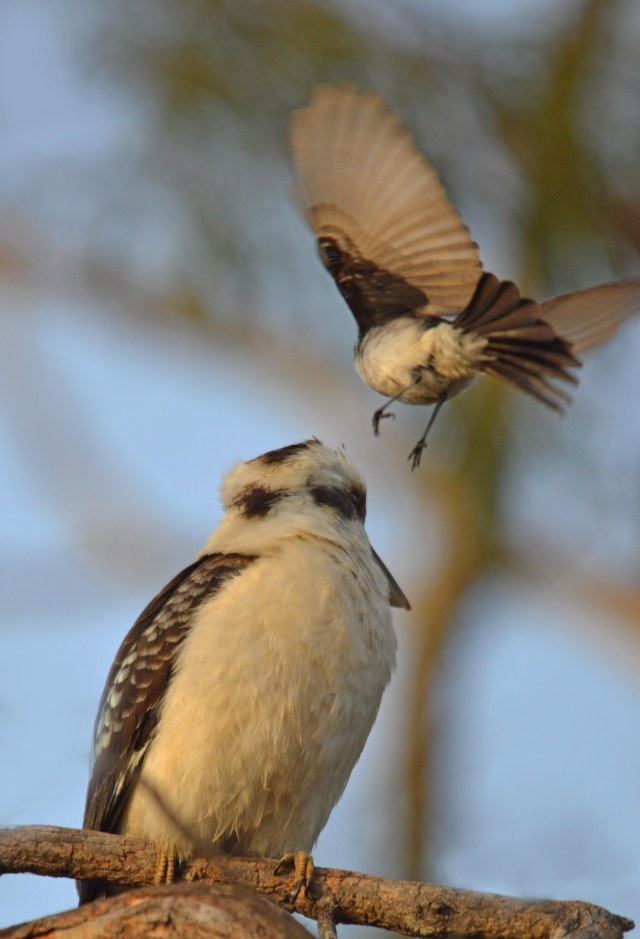 A kookaburra being harassed by a willie wagtail.