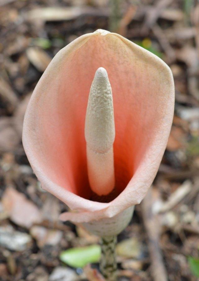 Araceae family.