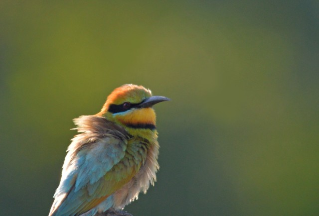 Another fluffy Bee-eater, in the late afternoon sun. Photo: David Clode