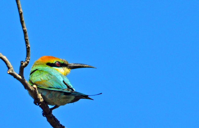 Rainbow bee-eater. Photo: David Clode