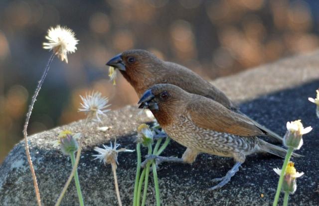 Eating seeds. Photo: David Clode
