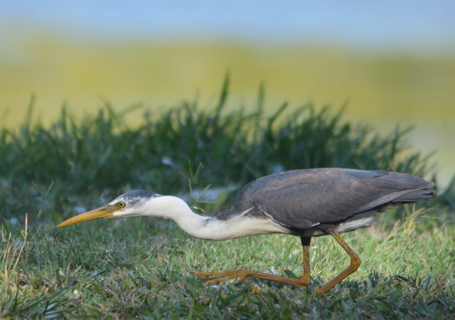 Hunting Heron. Phot : David Clode