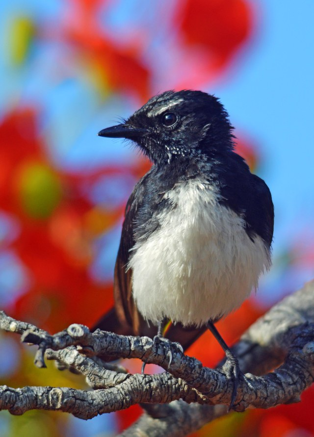 A Willie-wagtail (Flycatcher) perched in a flowering poinciana tree. Photo: David Clode.