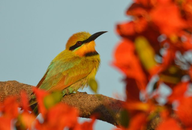 A Bee-eater perches in a flowering poinciana tree. photo: David Clode