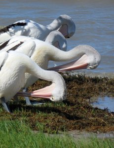 Preening Pelicans. Cairns Esplanade. Photo: David Clode
